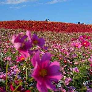 No words can describe the beauty all around Hitachi Seaside Park.